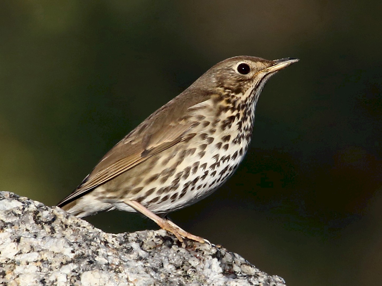 Song Thrush - António Cruz