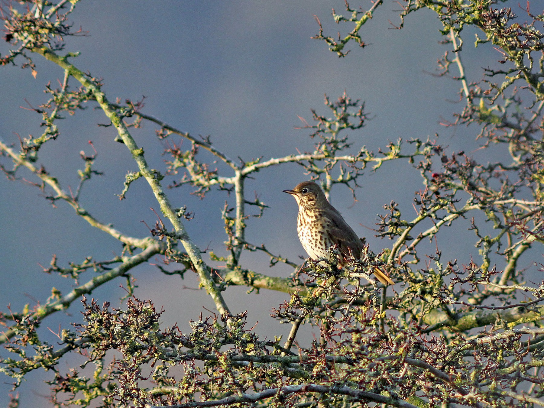 Song Thrush - Ray Scally