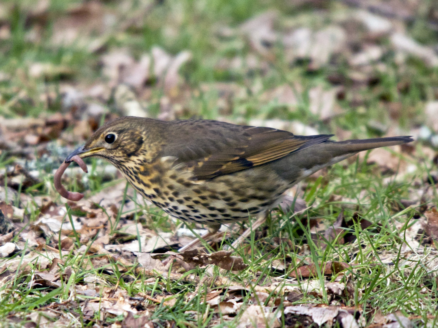 Song Thrush - Torin Waters 🦉