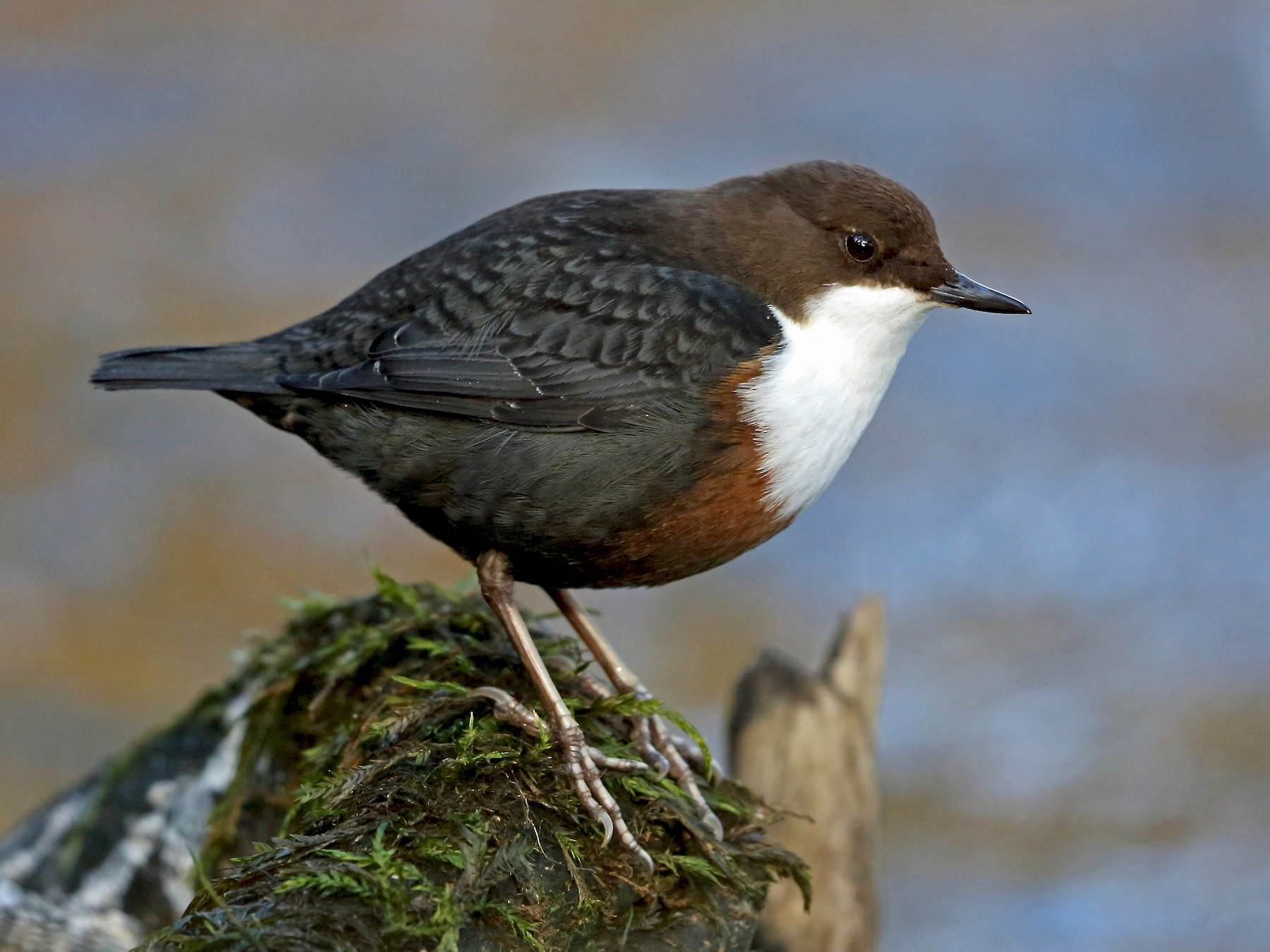 White-throated Dipper - Nigel Voaden