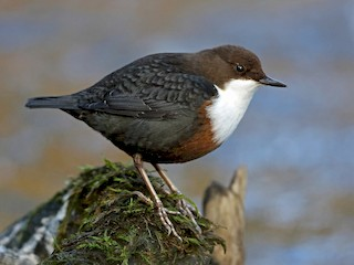 - White-throated Dipper
