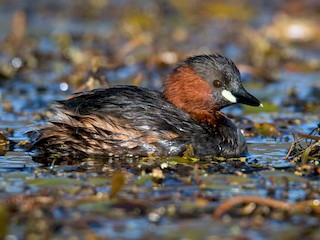 - Little Grebe