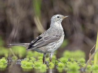 - Water Pipit