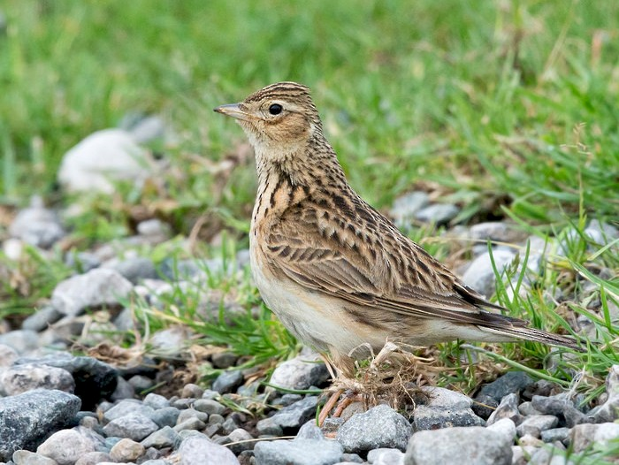 Eurasian Skylark - David Irving