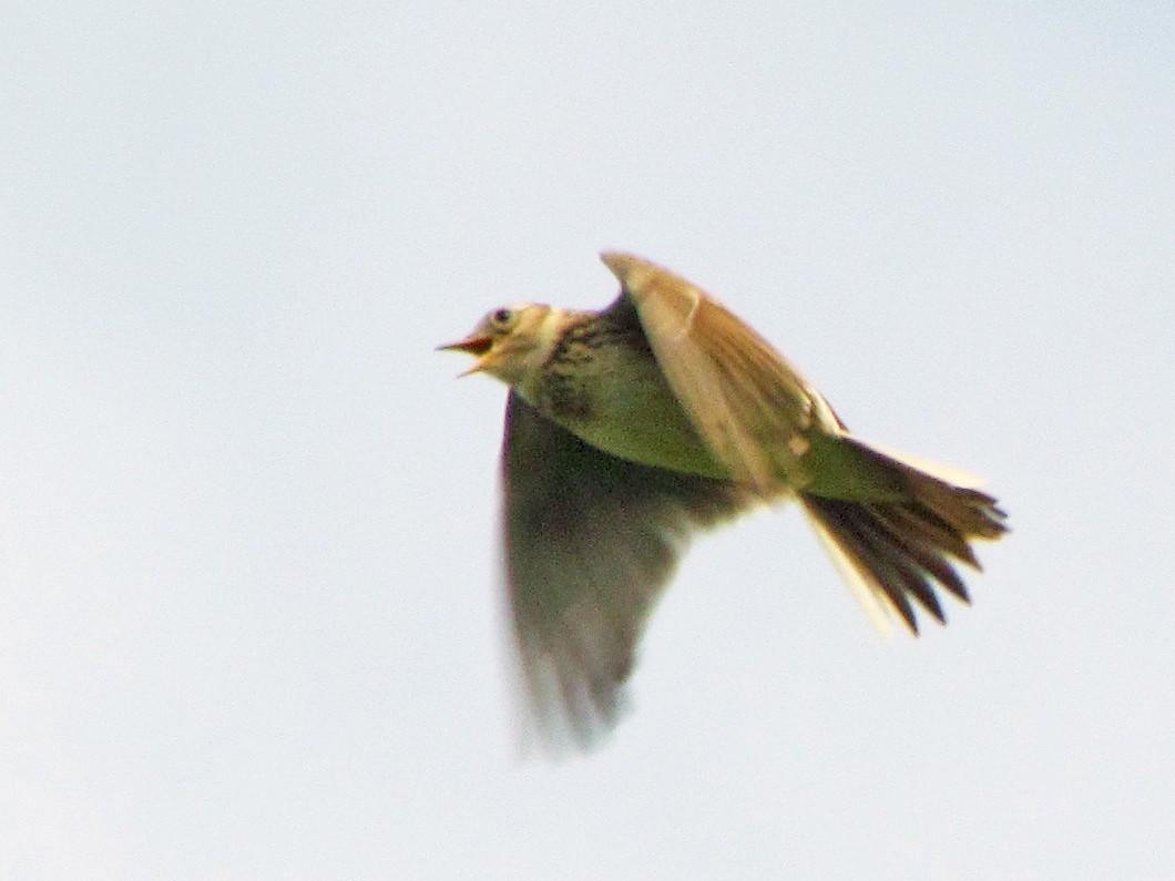Eurasian Skylark - Bruce  Kerr
