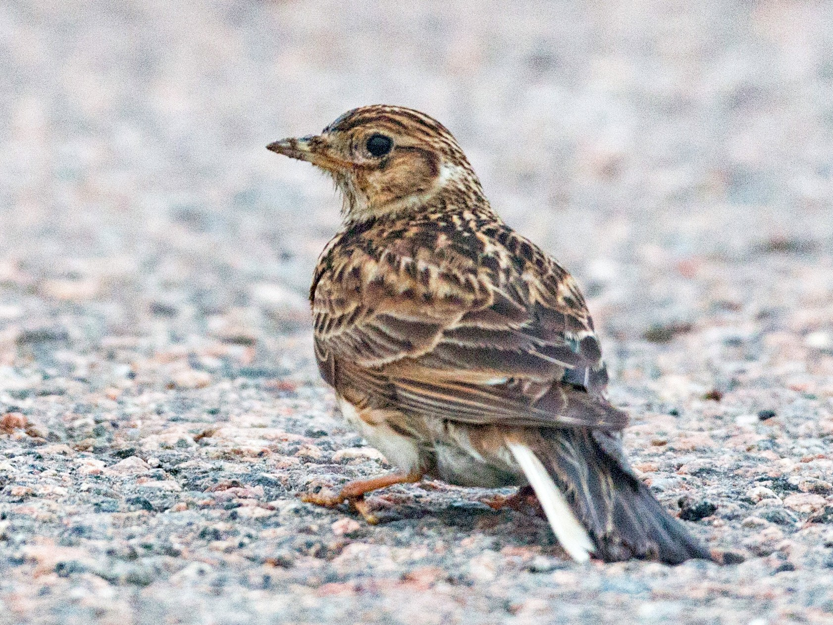 Eurasian Skylark - Ian Davies