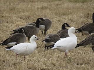 Ross's Goose, ML44967851