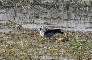Knob-billed Duck, ML45017671