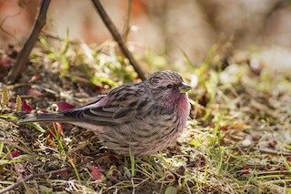 - Himalayan Beautiful Rosefinch