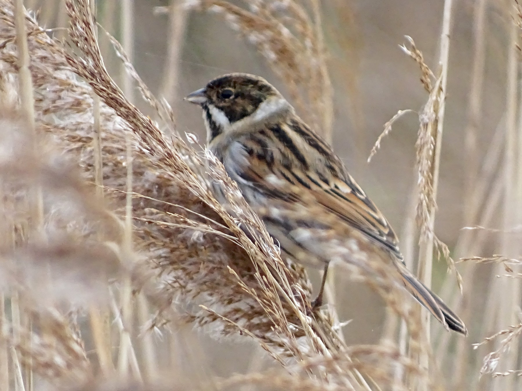 Reed Bunting - Ali Brooks