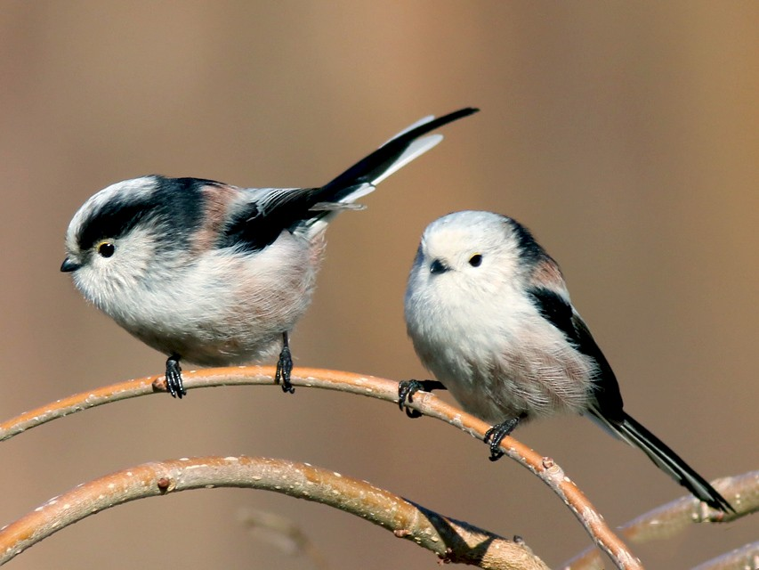 Long-tailed Tit - Katarina Paunovic