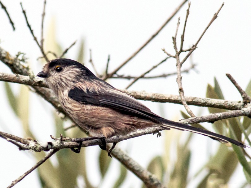 Long-tailed Tit - Pedro Nicolau