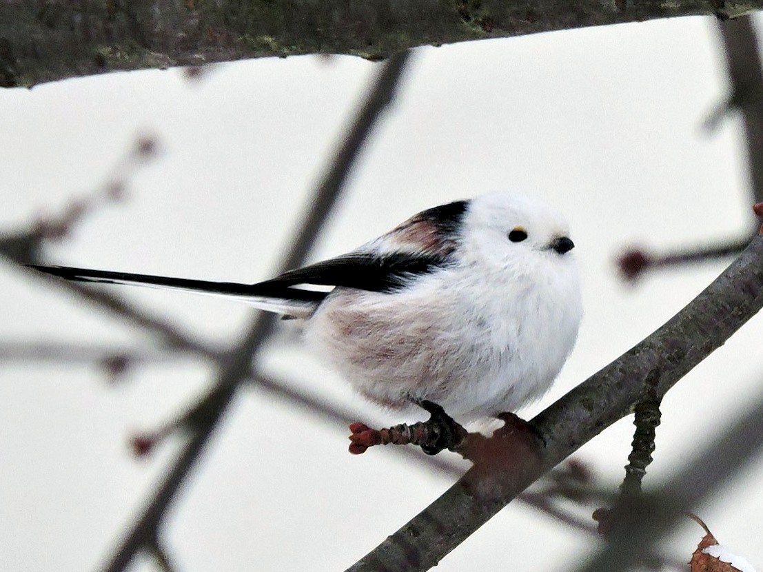 Long-tailed Tit - Knut Hansen