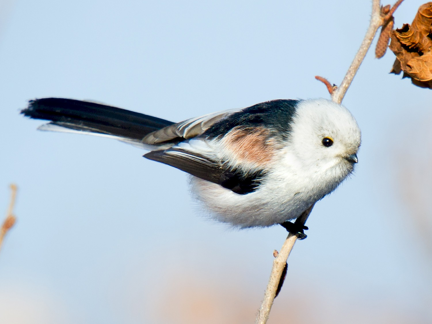 Long-tailed Tit - Craig Brelsford