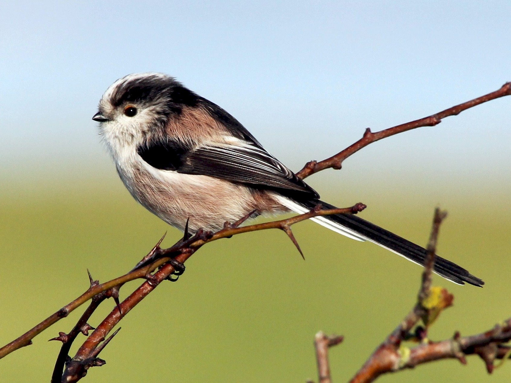 Long-tailed Tit - Paul Chapman