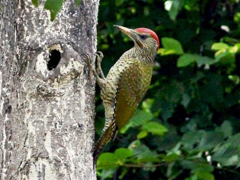 Eurasian Green Woodpecker - Dijana  Serhatlic
