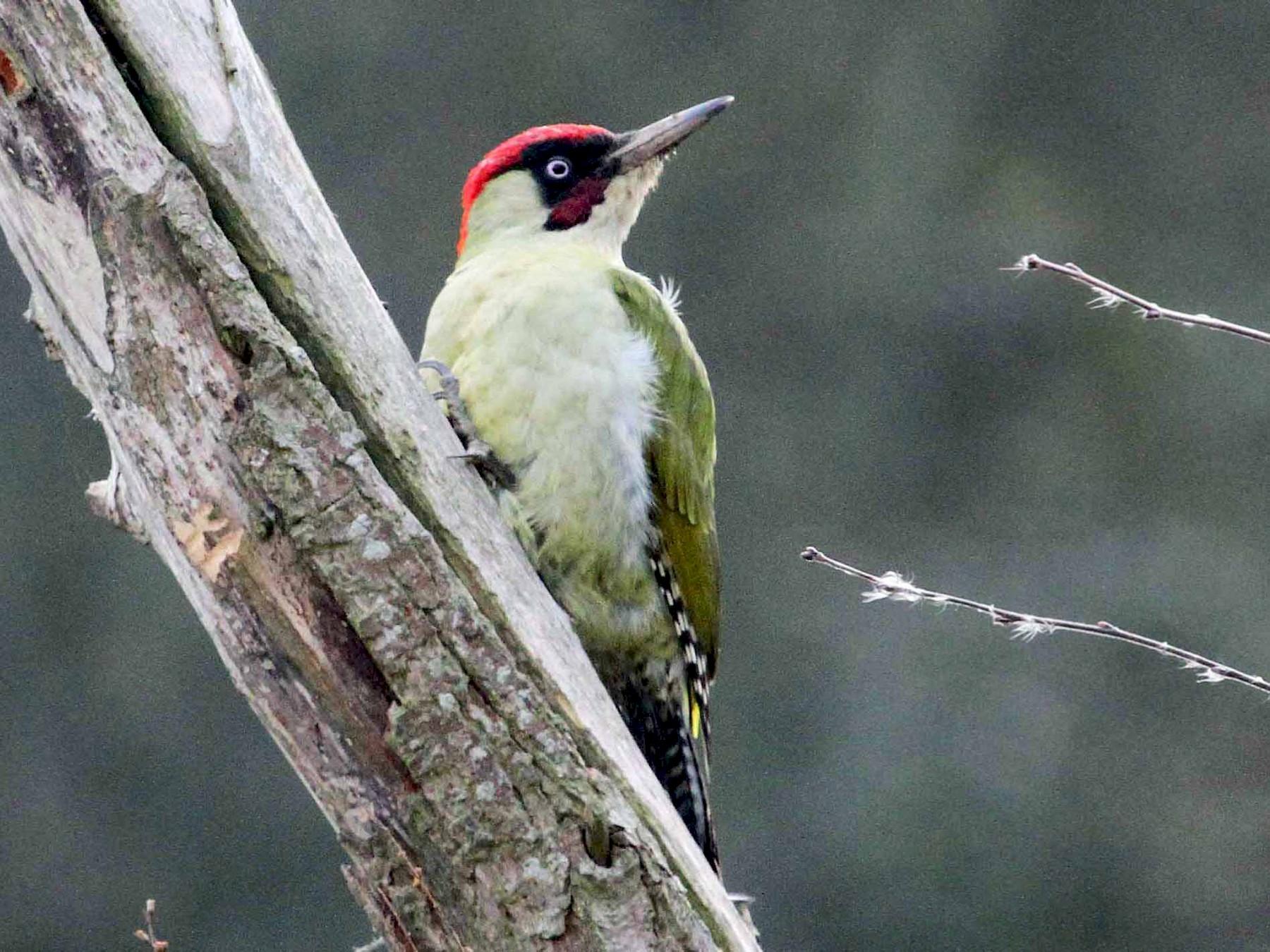 Eurasian Green Woodpecker - Paul Lewis