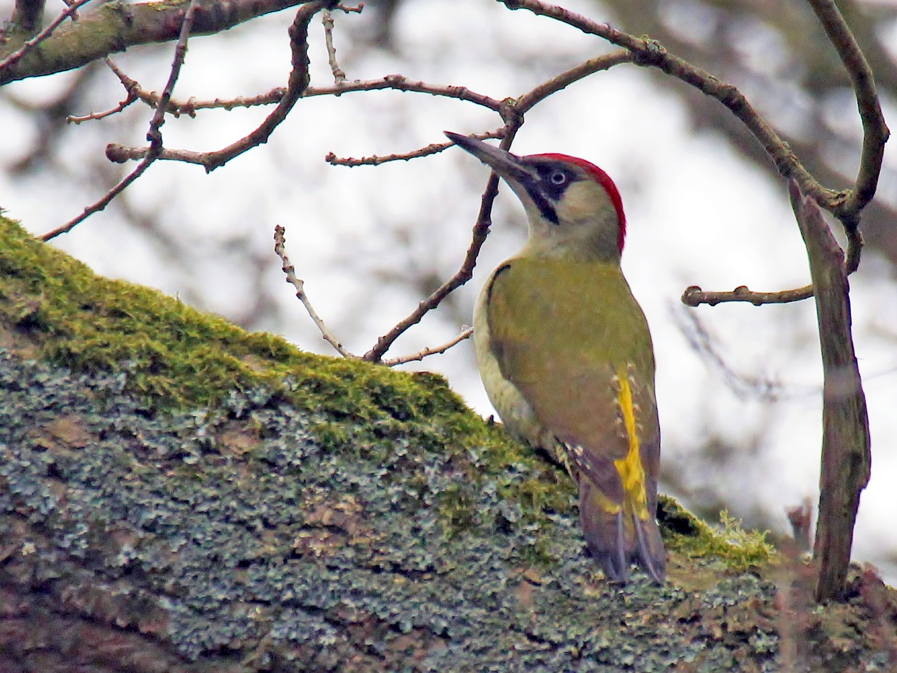 Eurasian Green Woodpecker - Stratton Hatfield