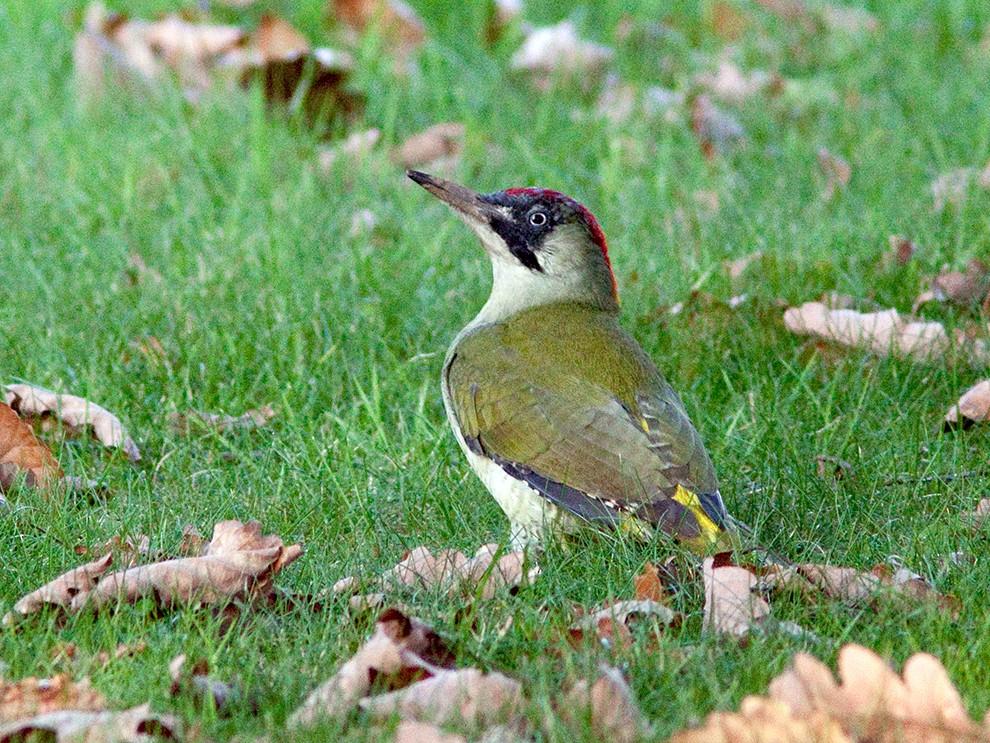 Eurasian Green Woodpecker - Suzanne Labbé