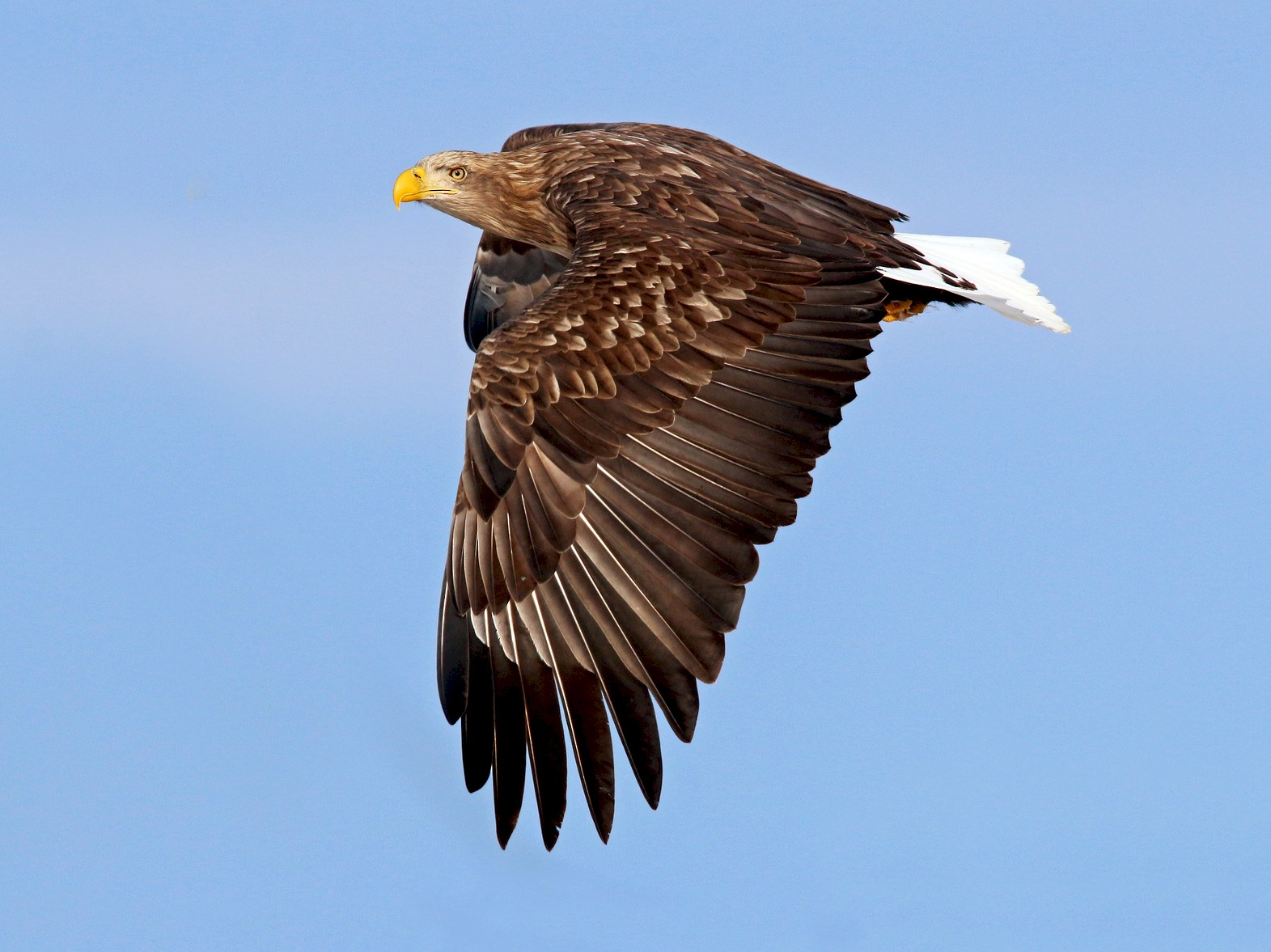 White-tailed Eagle - Ian Davies