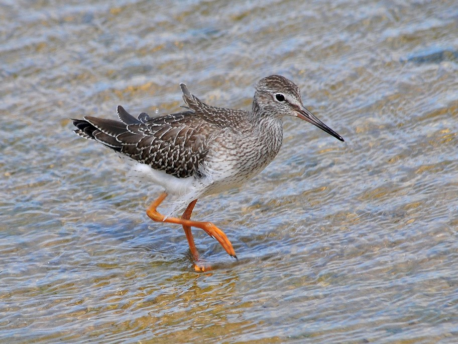 Common Redshank - Jeremiah Trimble