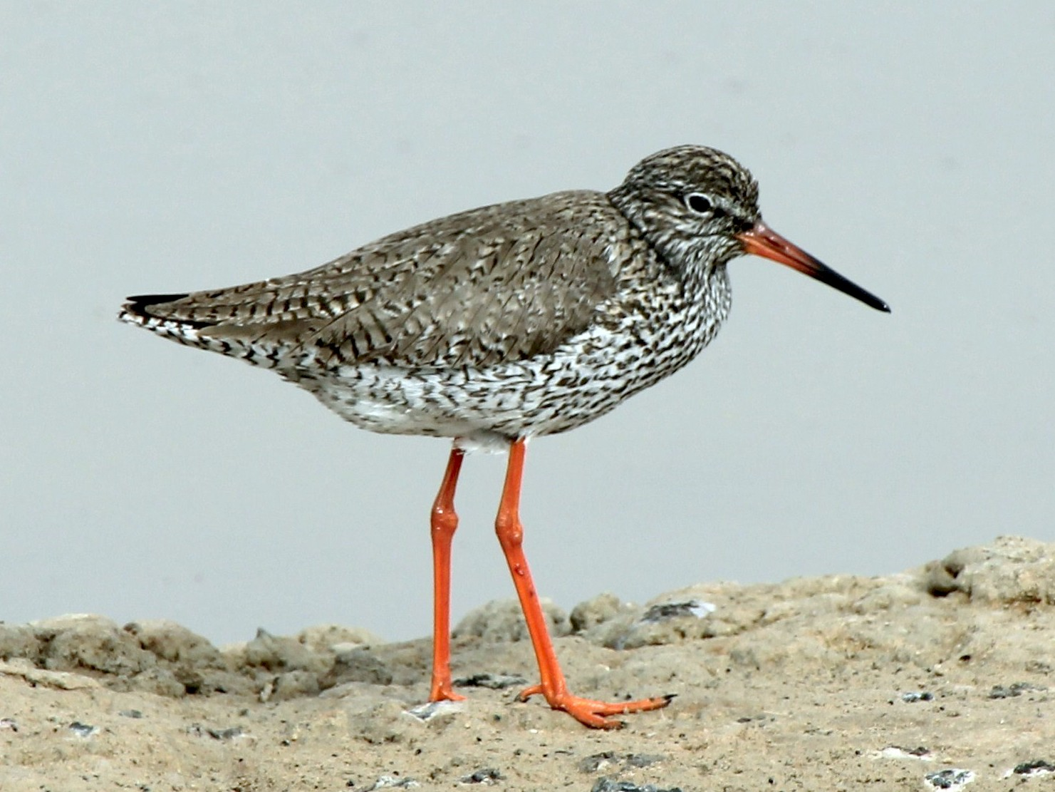 Common Redshank - Paul Chapman