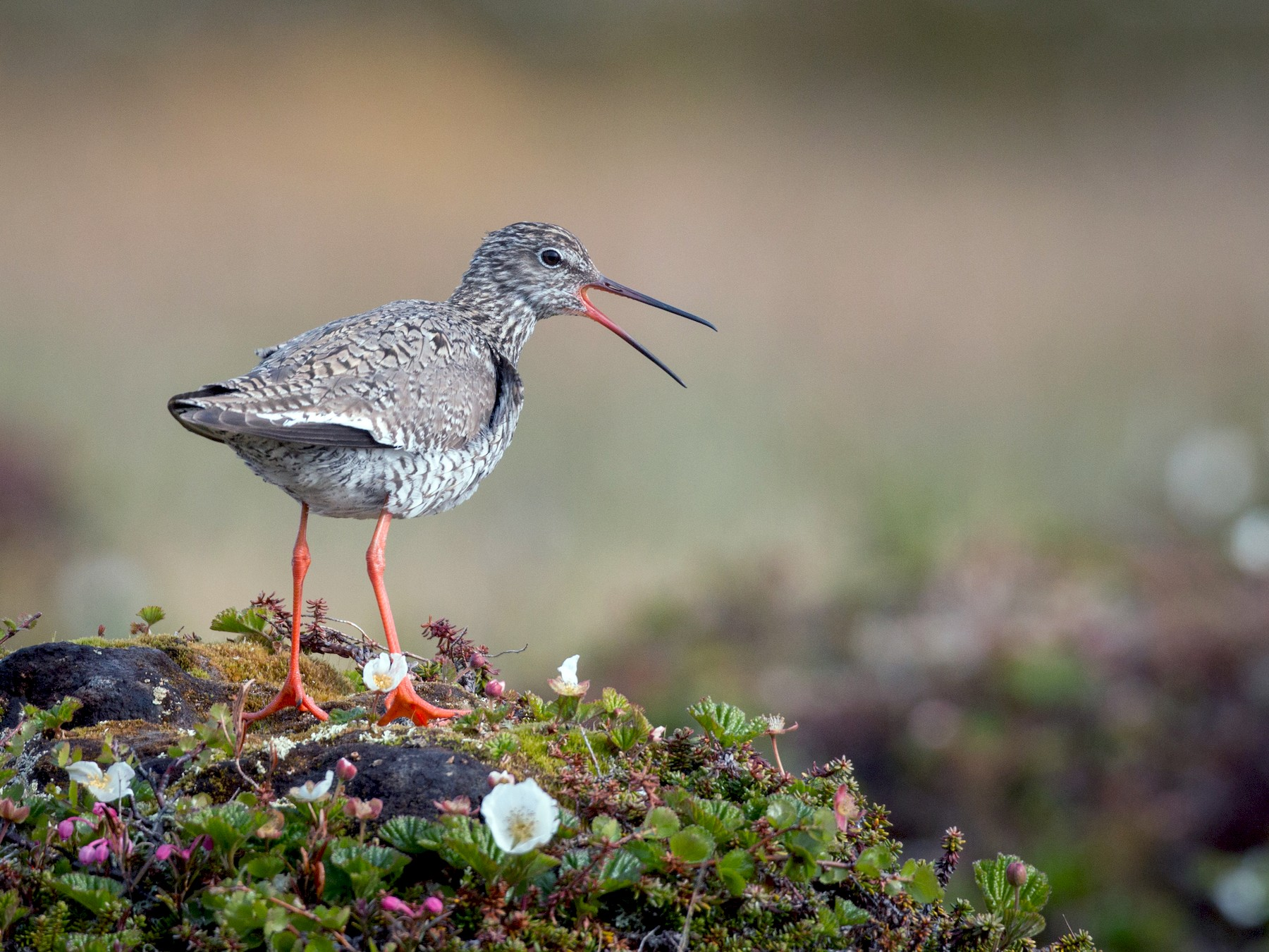 Common Redshank - Ian Davies