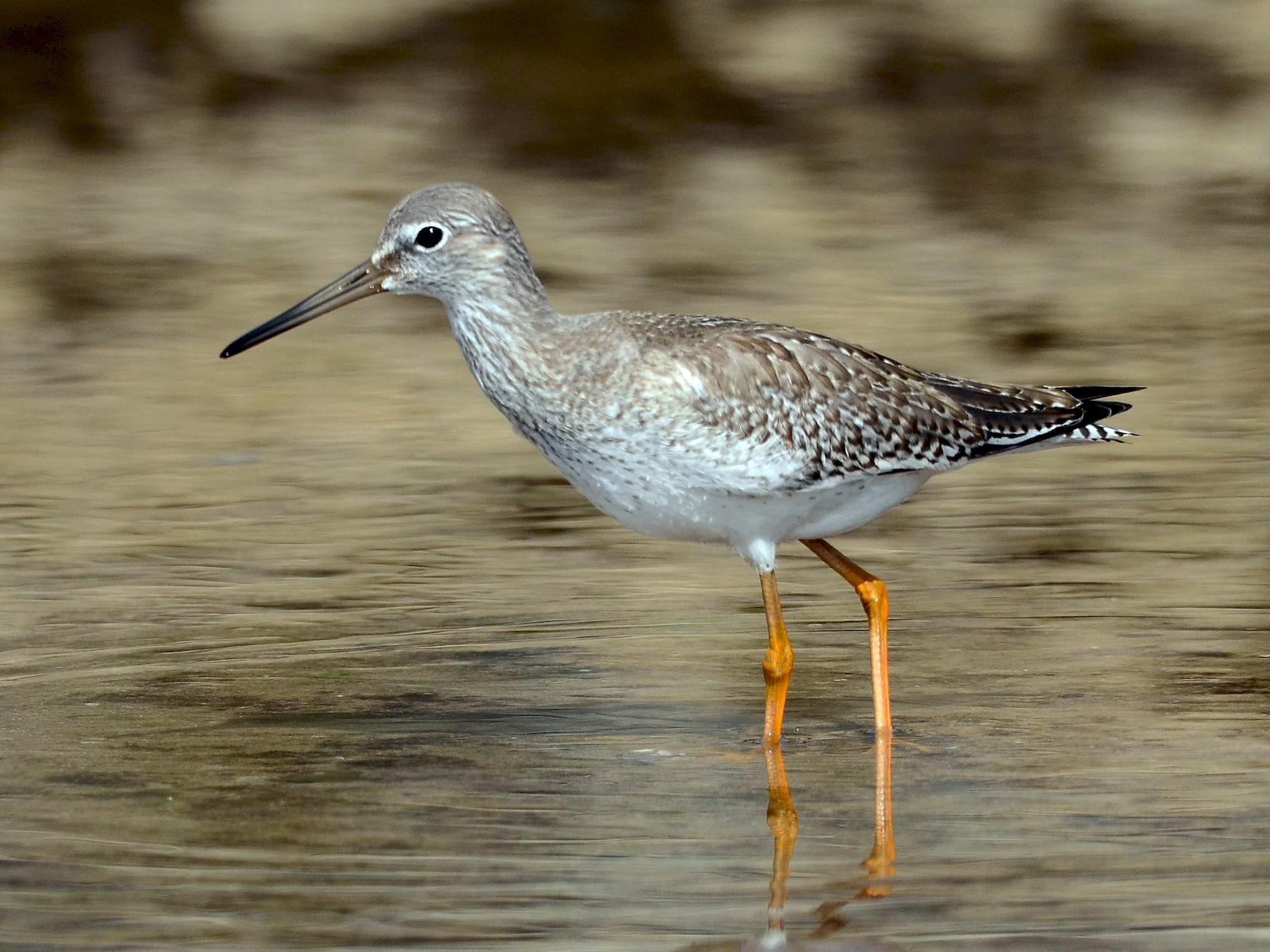 Common Redshank - José Frade