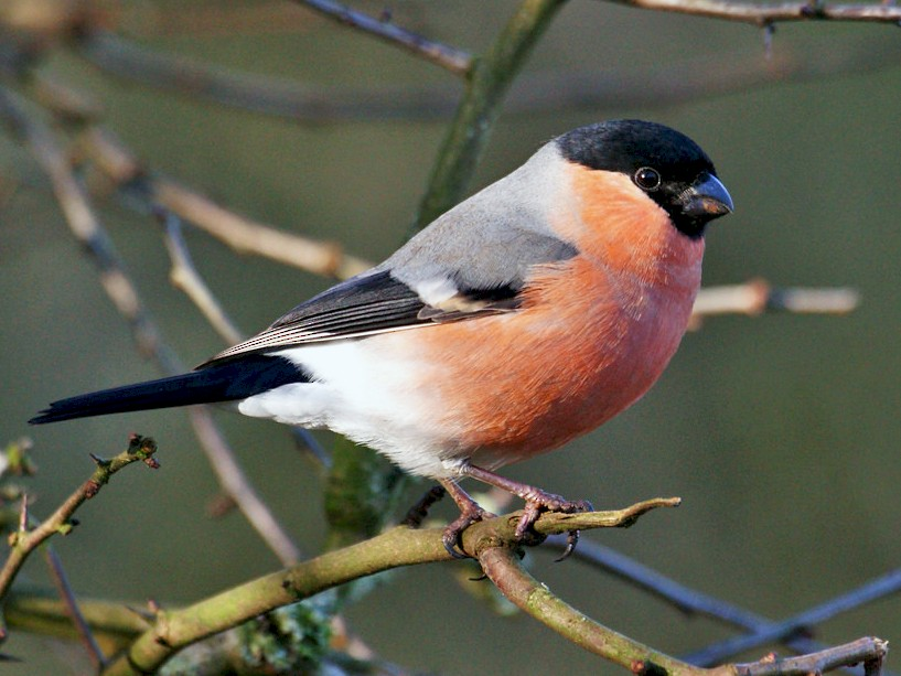Eurasian Bullfinch - David Irving