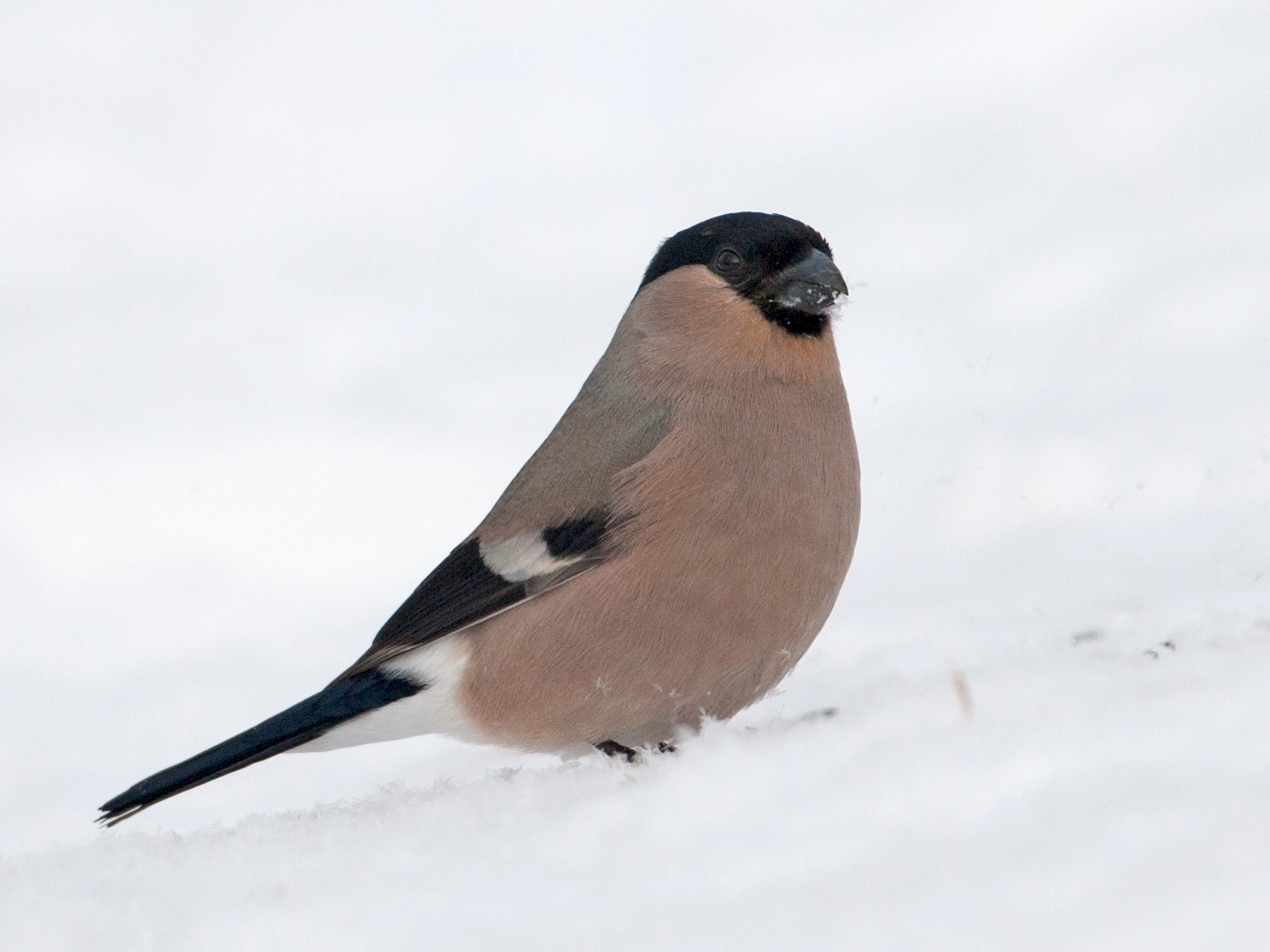 Eurasian Bullfinch - Jessie Barry
