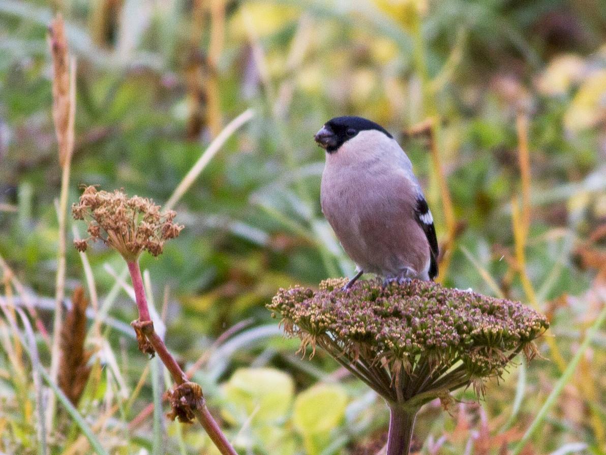 Eurasian Bullfinch - Doug Gochfeld