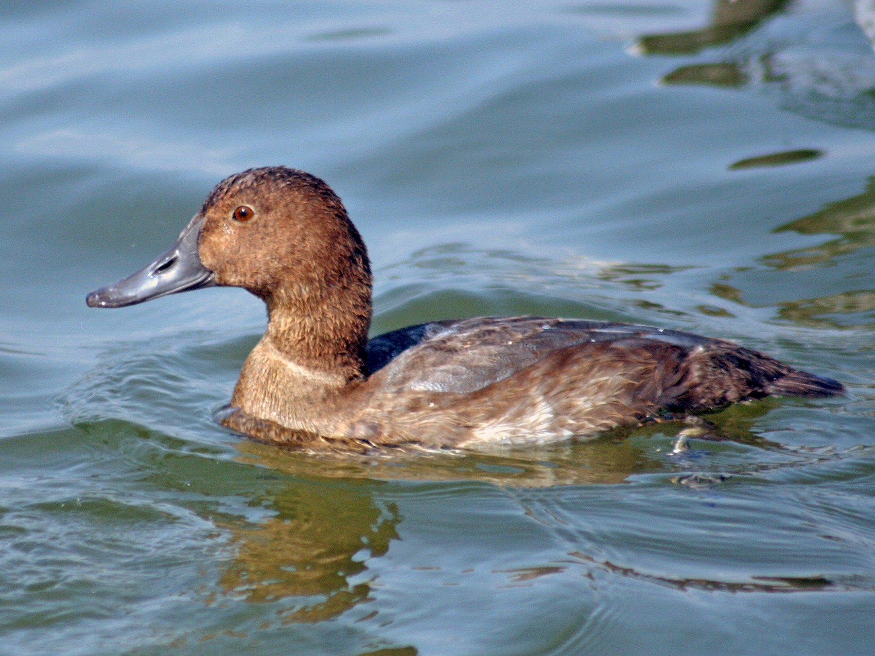 Common Pochard - Martina Nordstrand