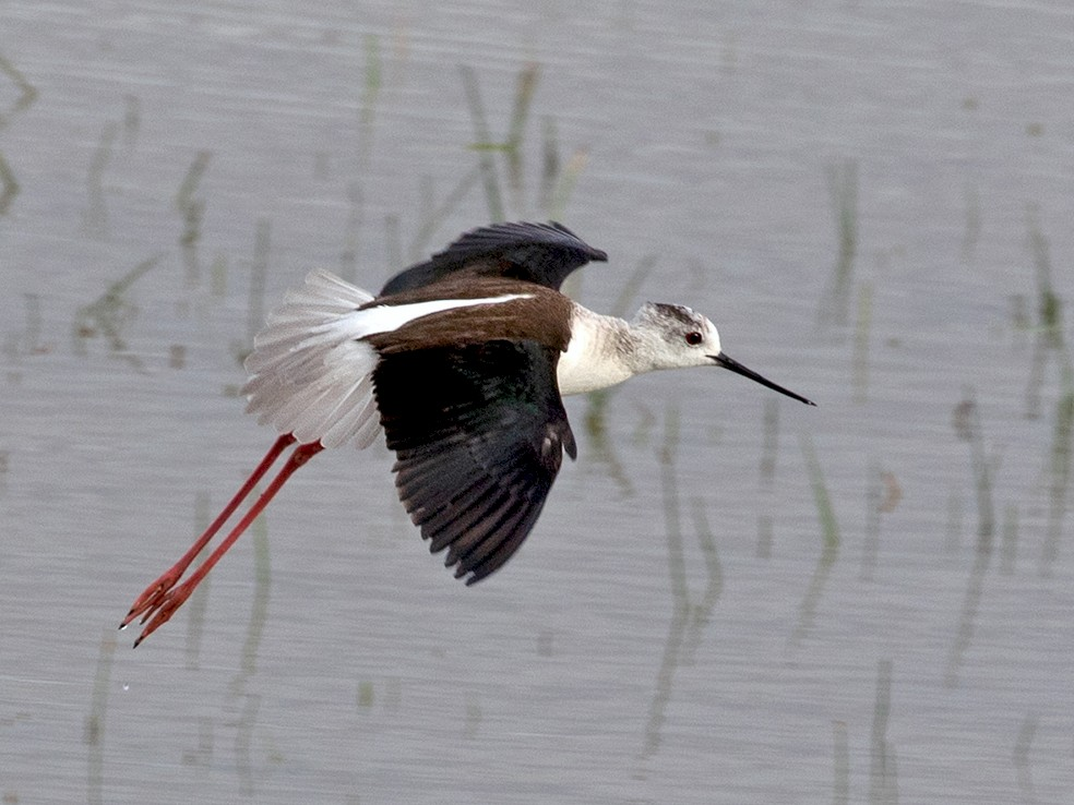 Black-winged Stilt - Suzanne Labbé