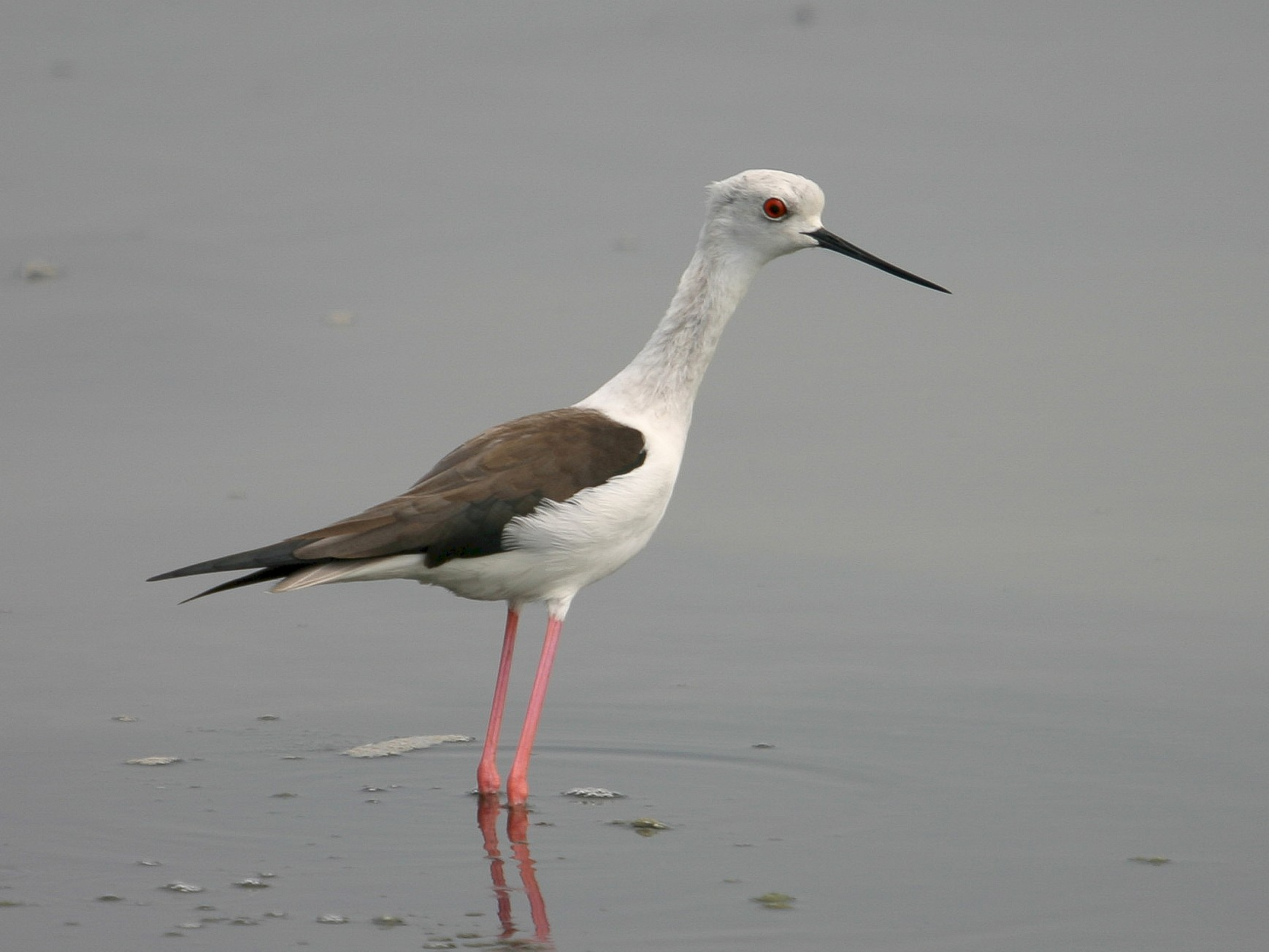 Black-winged Stilt - Chris Wood