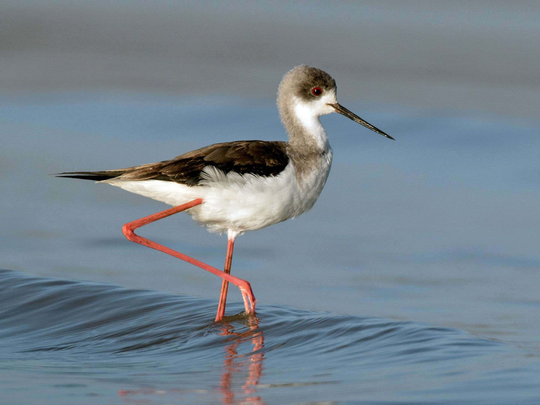 Black-winged Stilt - Ian Davies