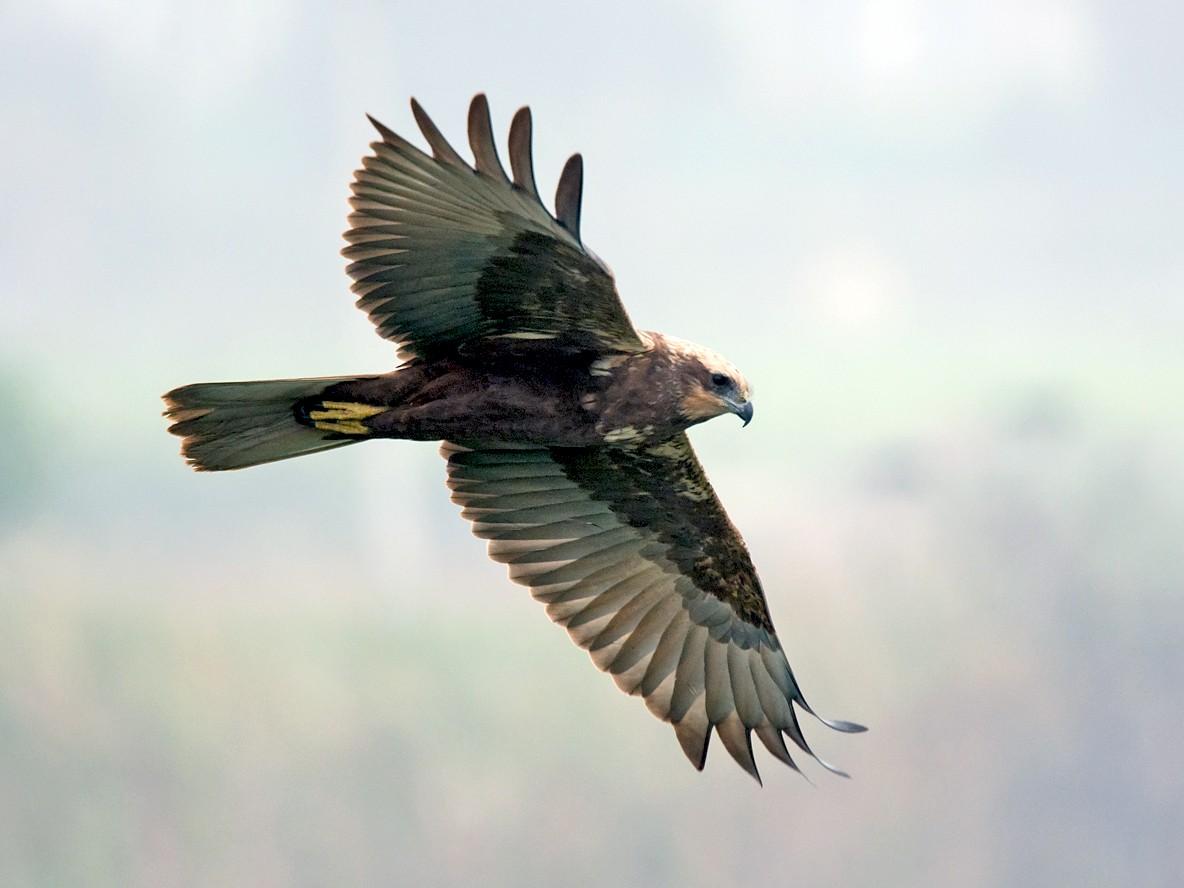 Eurasian Marsh-Harrier - Kamal Hari Menon