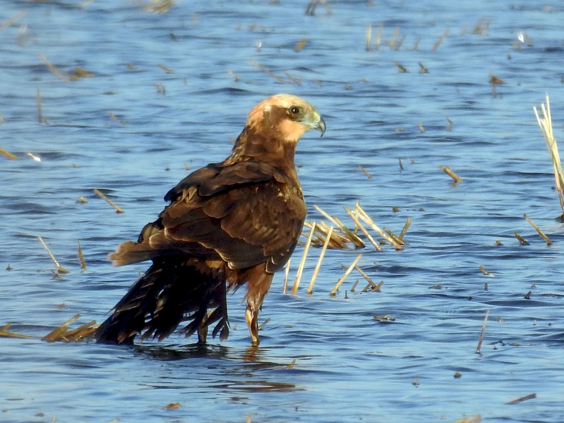 Eurasian Marsh-Harrier - Daniel Raposo