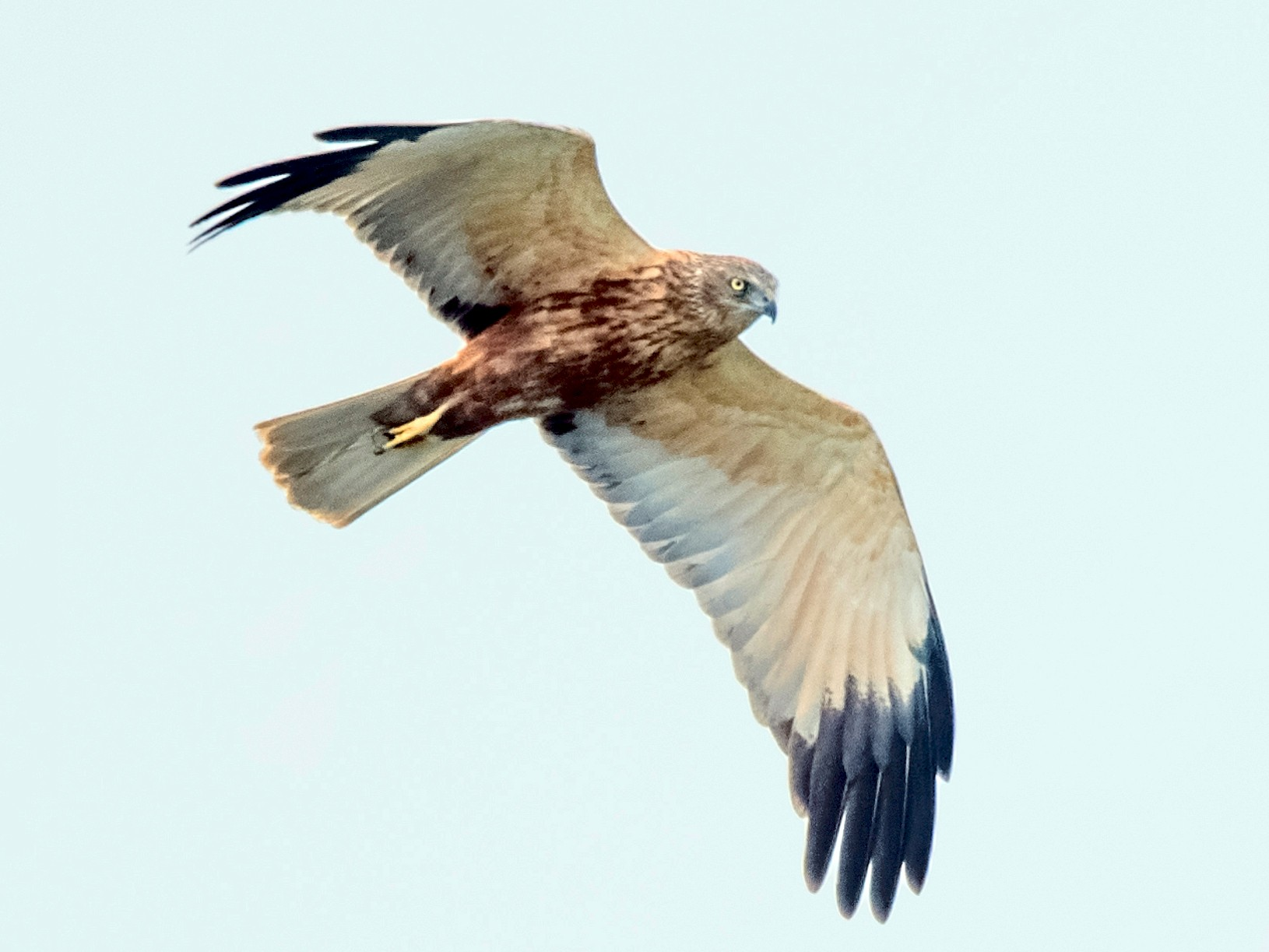 Eurasian Marsh-Harrier - Amit Kher