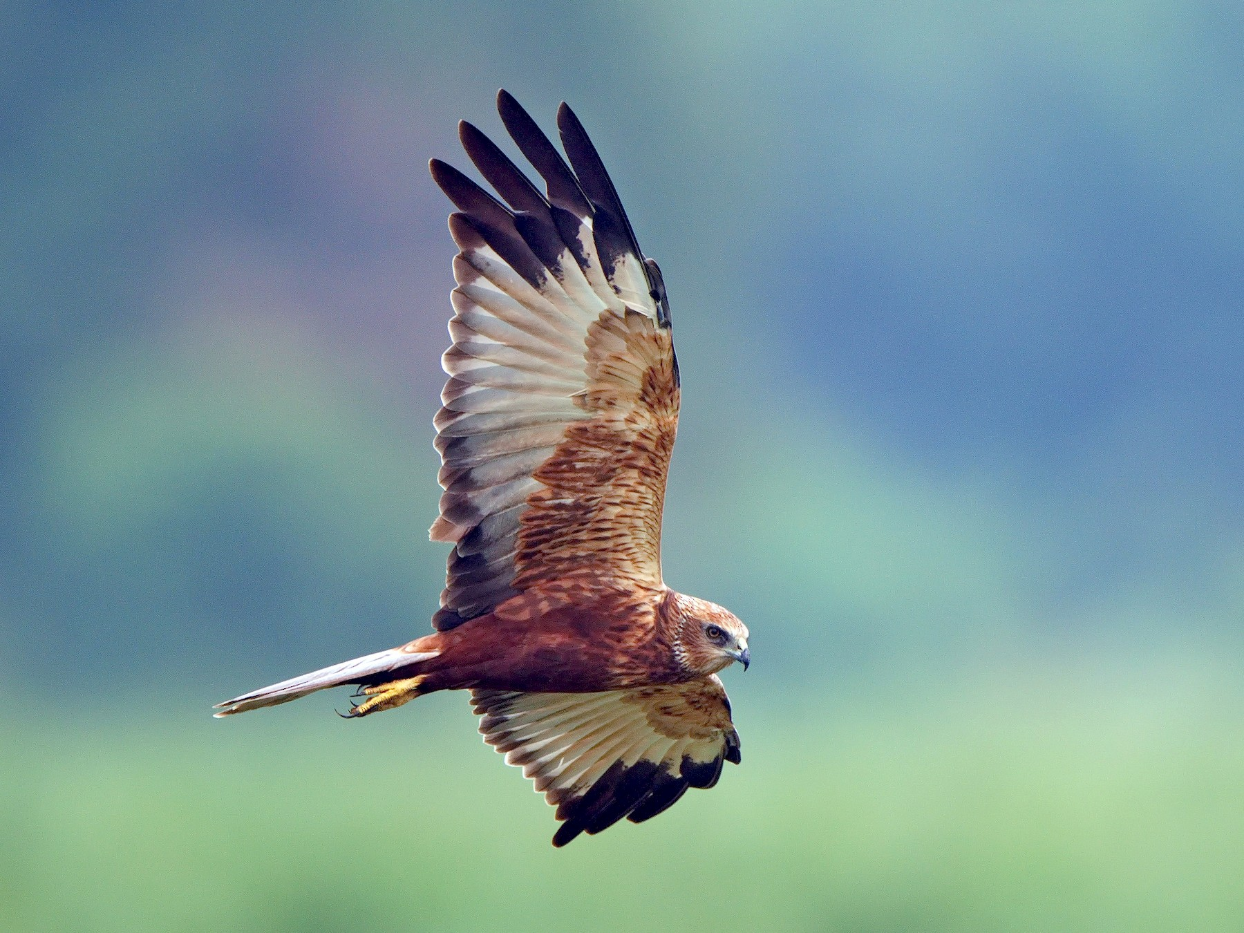 Eurasian Marsh-Harrier - Udaya Kumar Balasubramanian
