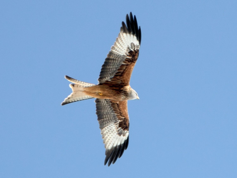 Red Kite - Steve Kelling