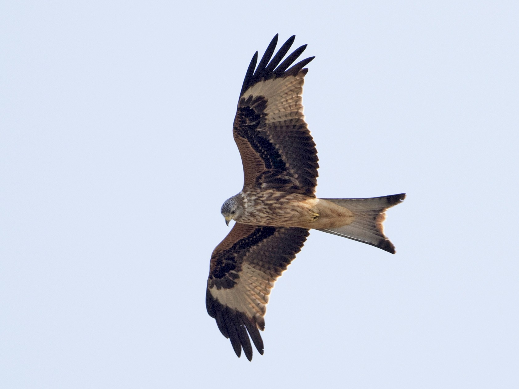 Red Kite - Brian Sullivan