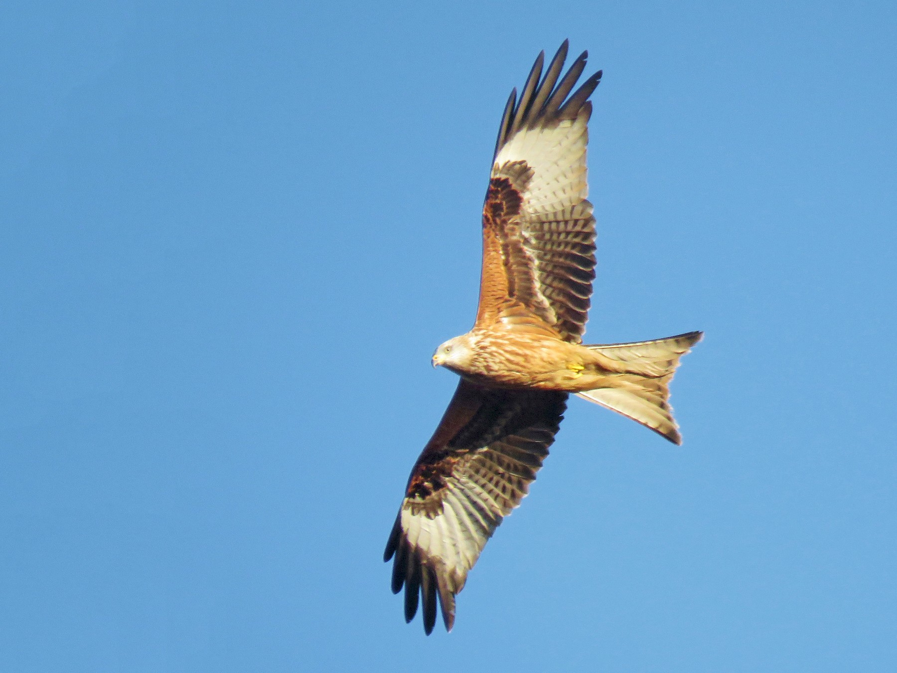Red Kite - Thomas Gibson