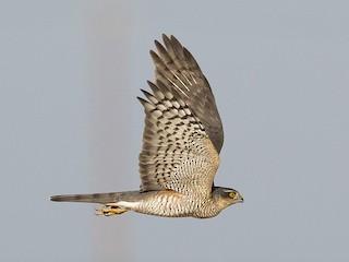 - Eurasian Sparrowhawk
