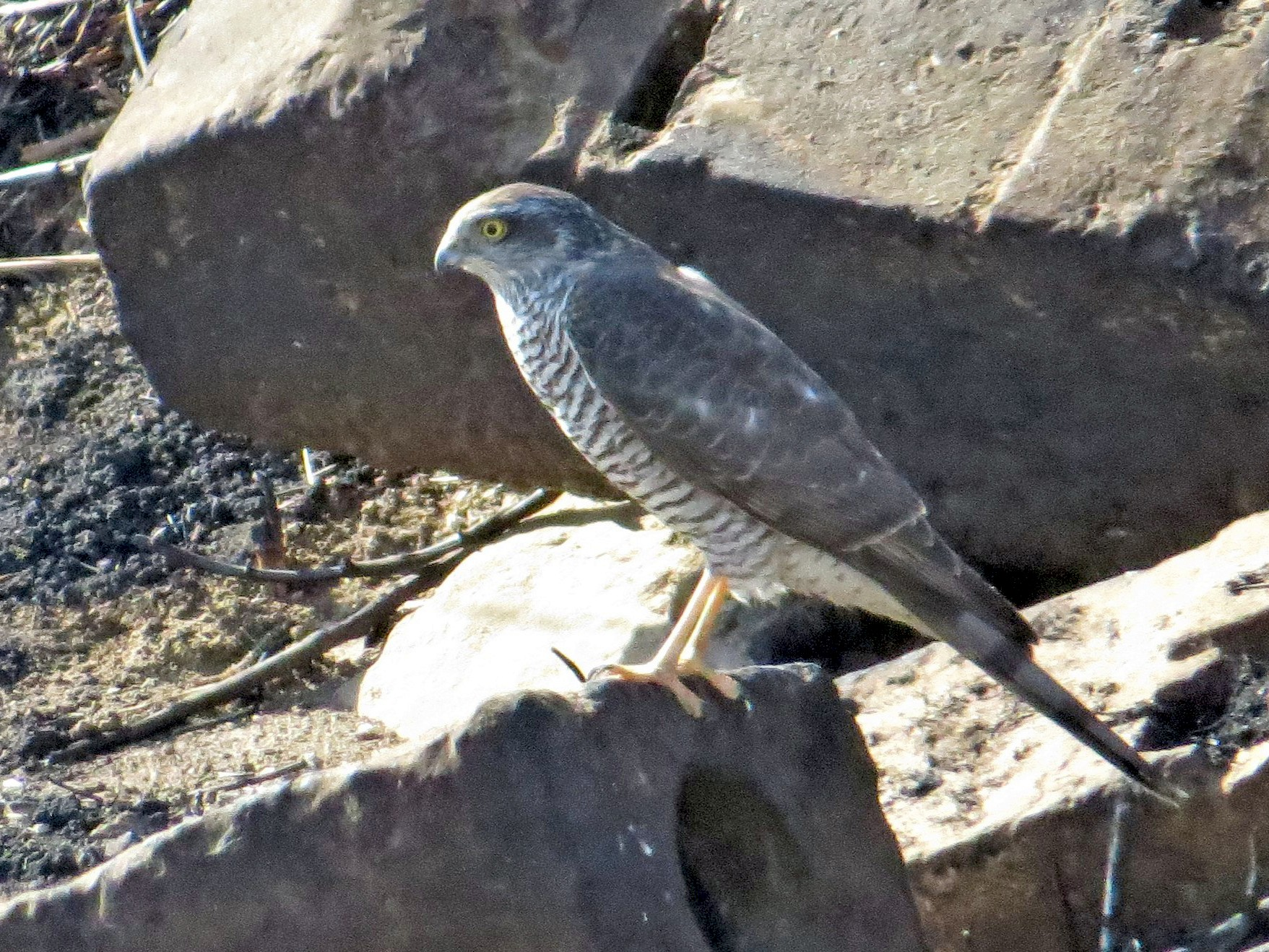 Eurasian Sparrowhawk - Daniel Melamed