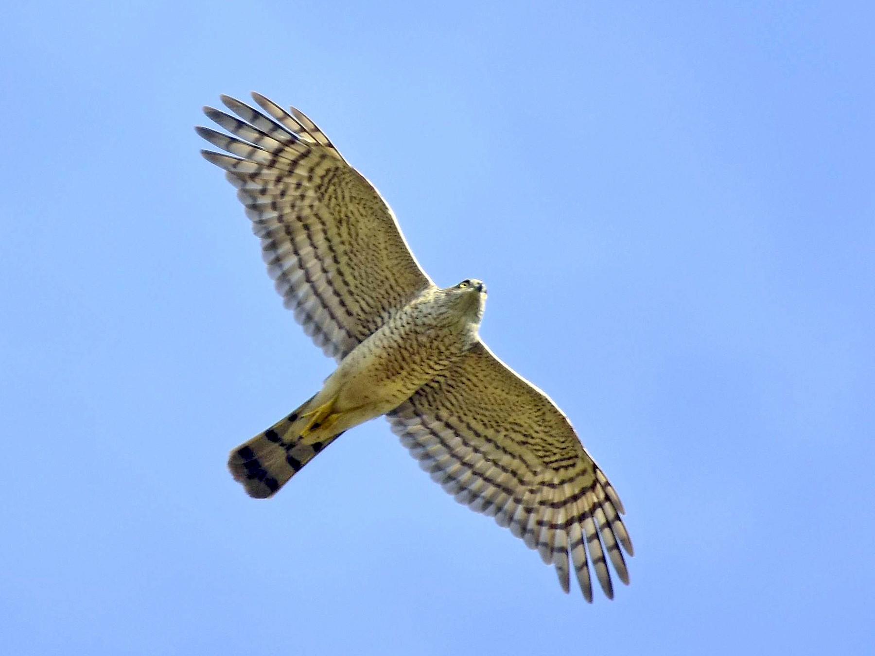 Eurasian Sparrowhawk - raphy kallettumkara