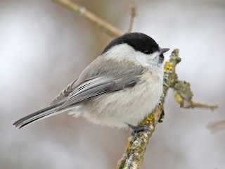 - Willow Tit