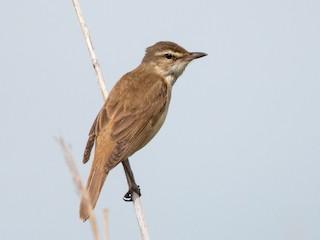 - Great Reed Warbler