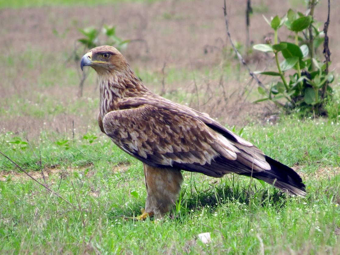 Imperial Eagle - Ritvik Singh