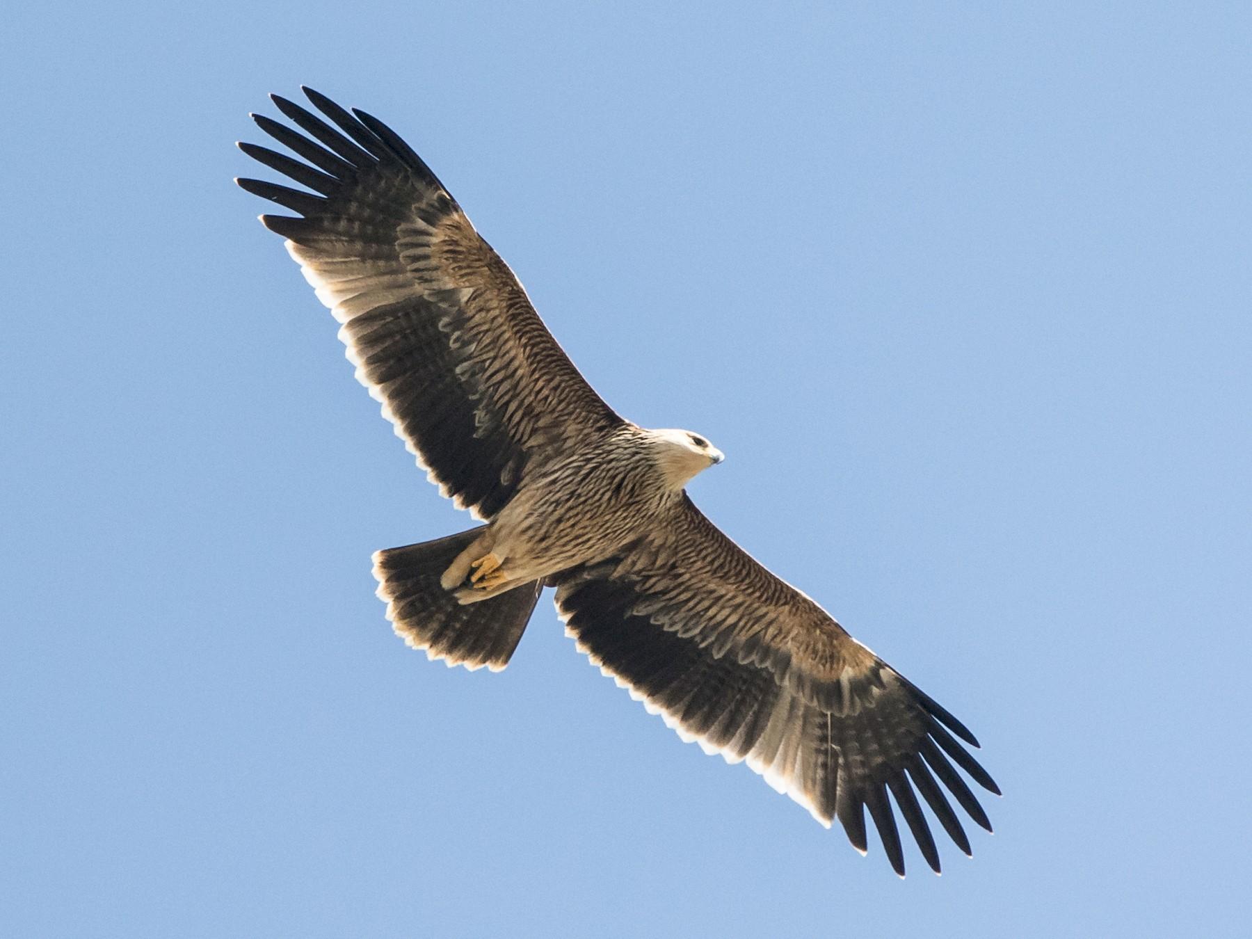 Imperial Eagle - Amol Marathe