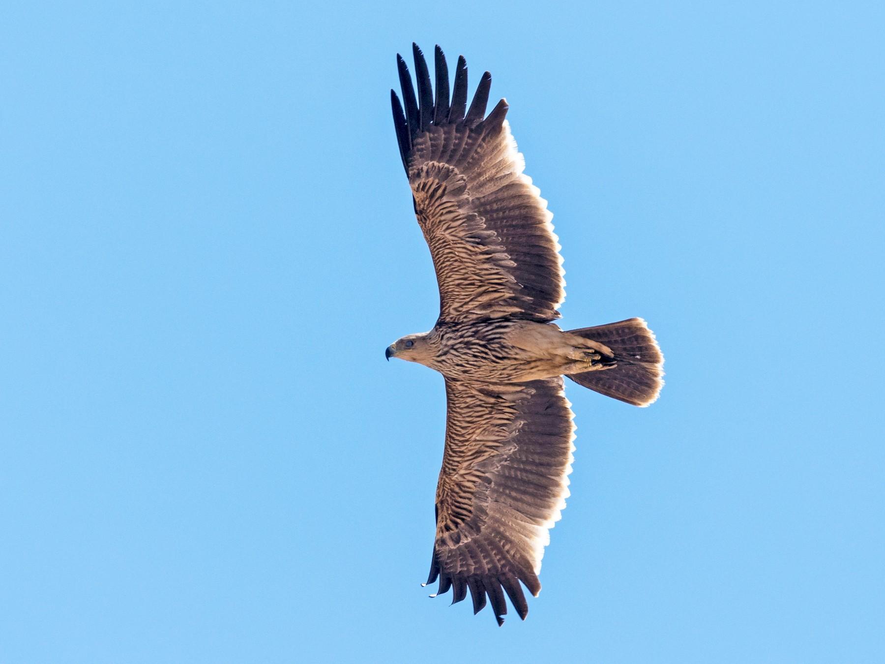 Imperial Eagle - Markus Craig